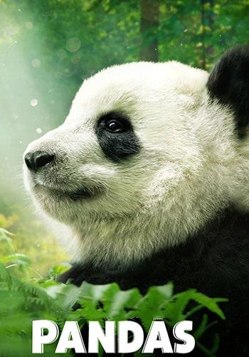 Pandas  پانداها